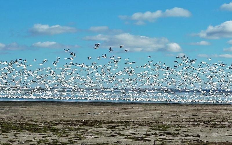 Migrations oies des neiges en avril
