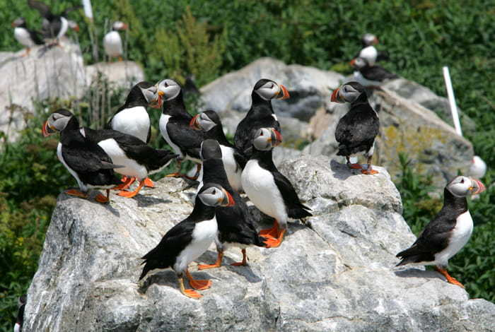 Puffins à la réserve écologique de Witless Bay