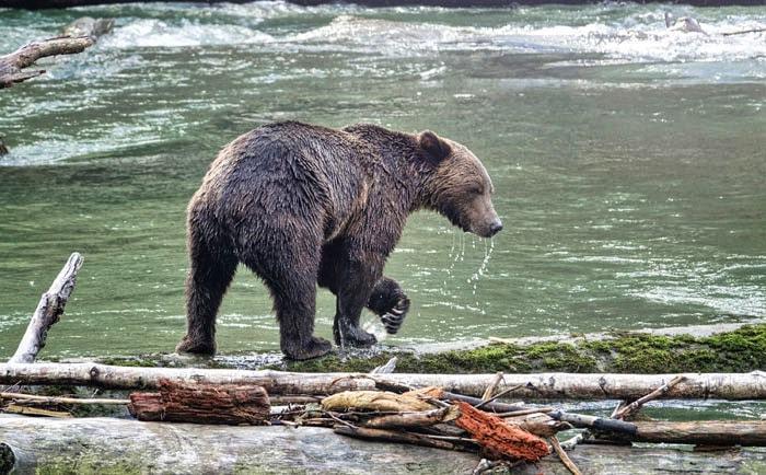 Grizzly pêchant le saumon