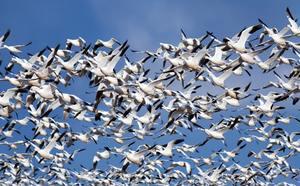 Vol d'oies des neiges