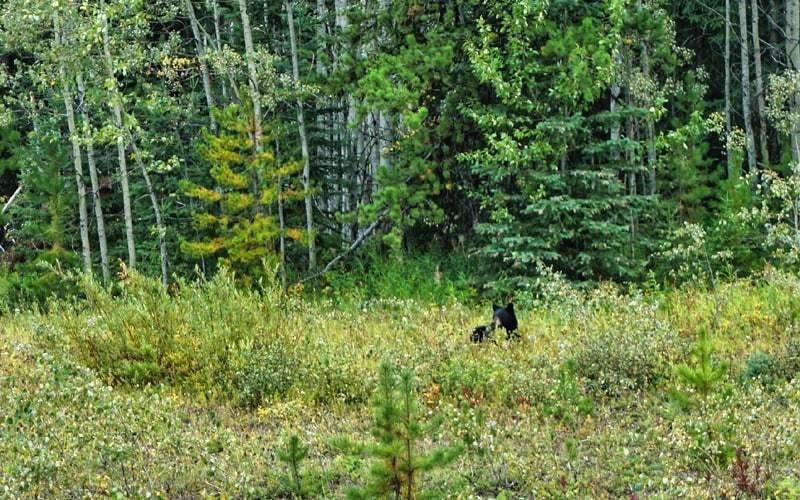 Ours noir au bord de la route 16 vers Burns Lake